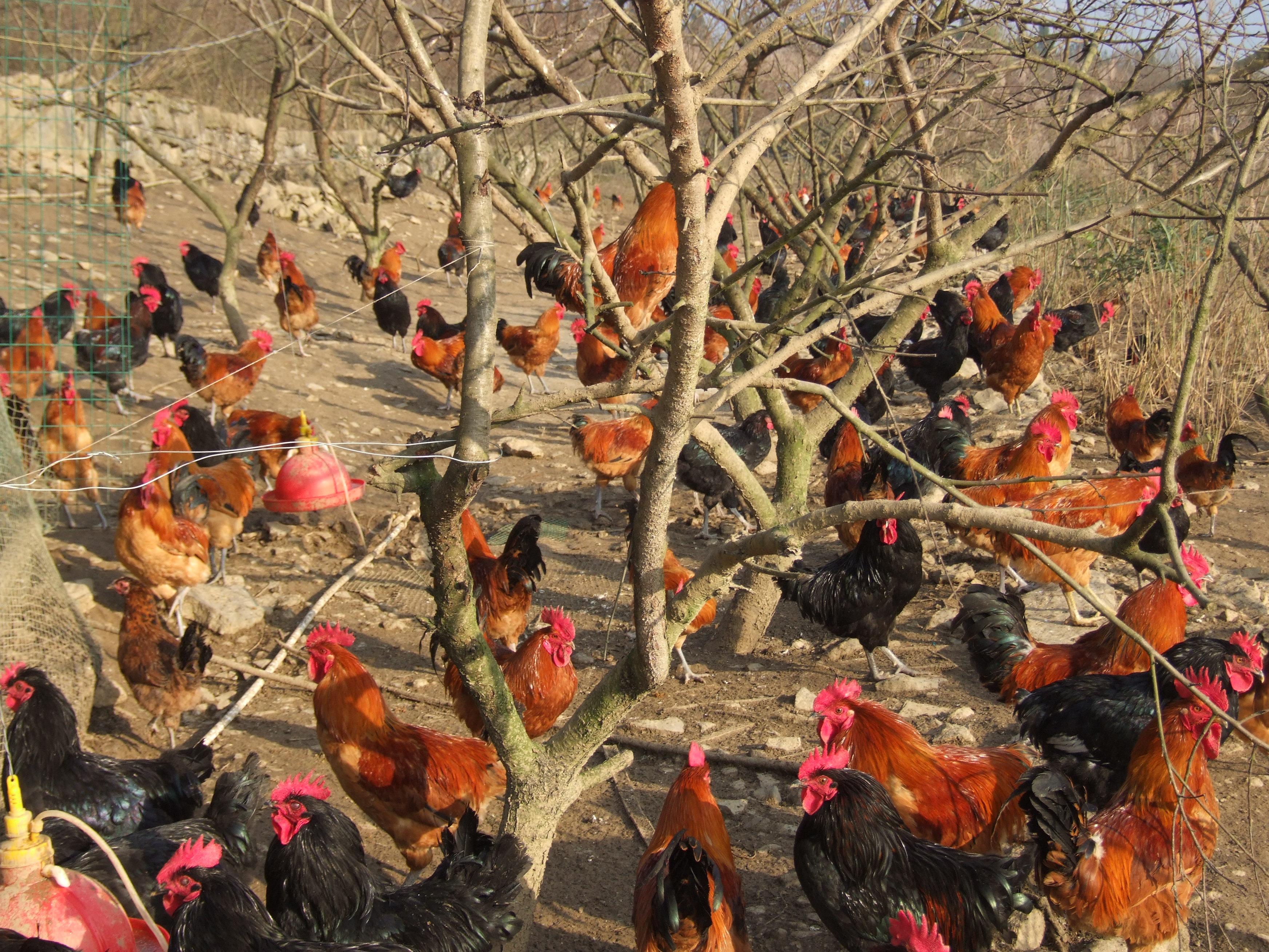百亩林下放养鸡.JPG